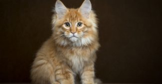 Lifespan of a Maine Coon Cat